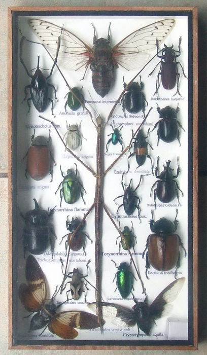 Fine display case with Exotic Insects Dry-preserved - various species - 35  x 20 cm  - Catawiki