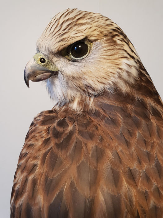 Top quality taxidermy - Saker Falcon Full-body-montage - Falco cherrug - 47 x 20 x 27cm - 896/2017 (Hannover)