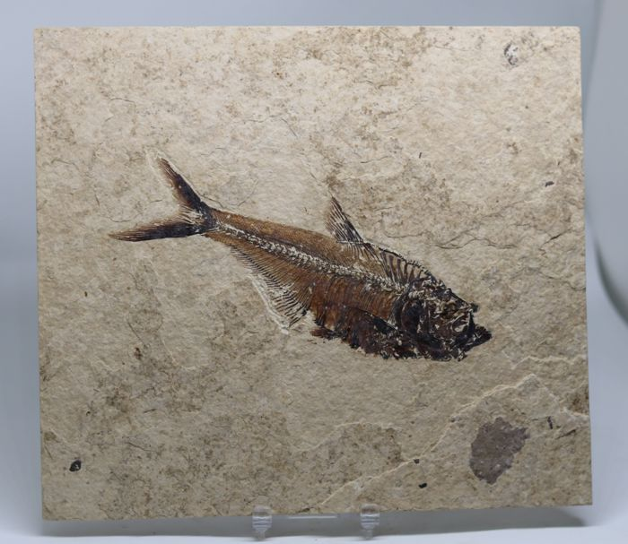 Finely preserved Fossil Fish - Diplomystus dentatus - 17 cm on matrix 23.5 x 20.5 cm - 830 gr - With scales - No colour