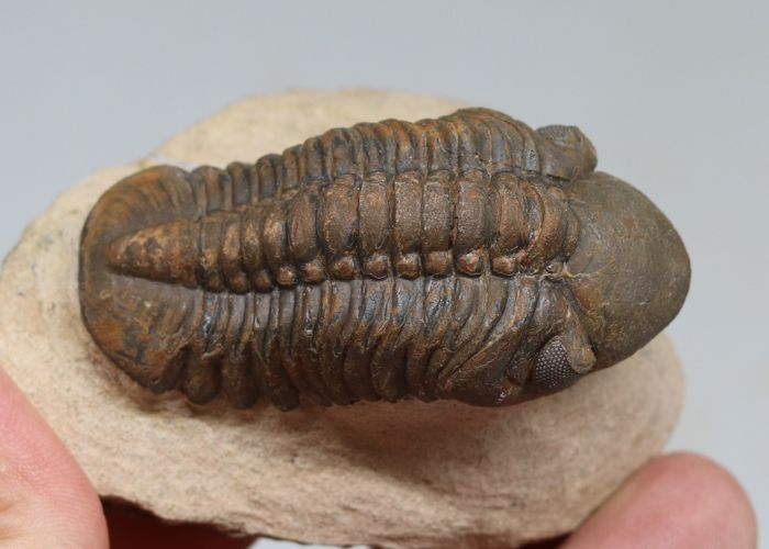 Nice fossil trilobite - Reedops cephalotes hamlagdadianus - 6.2 cm - Green and brown colour - Superb eyes