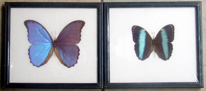 Framed Morpho Butterflies Other - Lepidoptera sp. - 22 x 20cm - 2 ...
