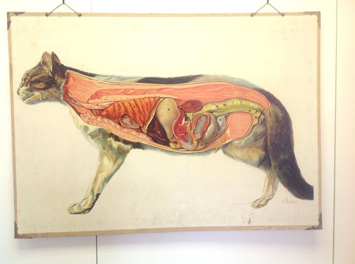 Antique veterinary biology school poster of the anatomy of the cat ...