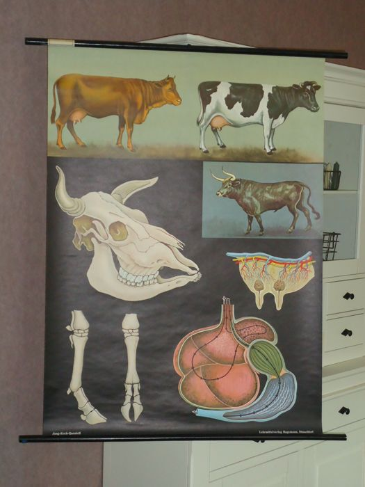 Old school poster, ' The bovine' from Jung-Koch-Quentell