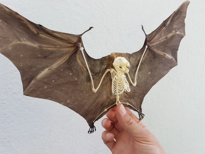 Greater Short-nosed Fruit Bat skeletalised, with open wings - Cynopterus sphinx - 33cm