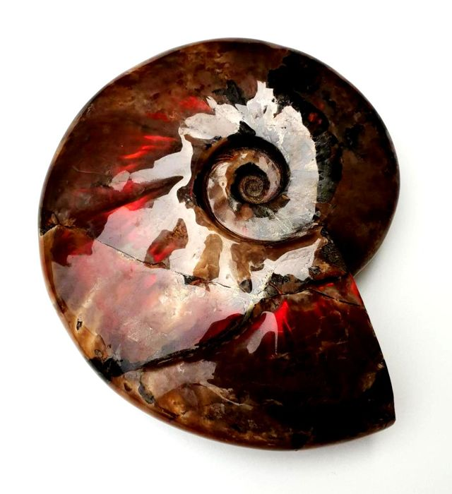 Ammonite with a extra red shell - Aioloceras besairiei - 20 cm