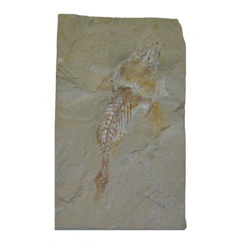 Fish fossil - Coccodus insignis - 13 cm