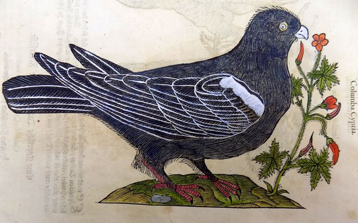 Conrad Gesner (1516-1565) - Jacobine Pigeon Cristatae 2 woodcuts on folio leaf - 1669