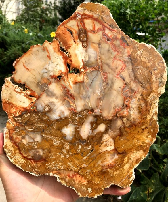 Large Petrified Wood Slice - 280 x 232 x 18 mm - 2016 gm