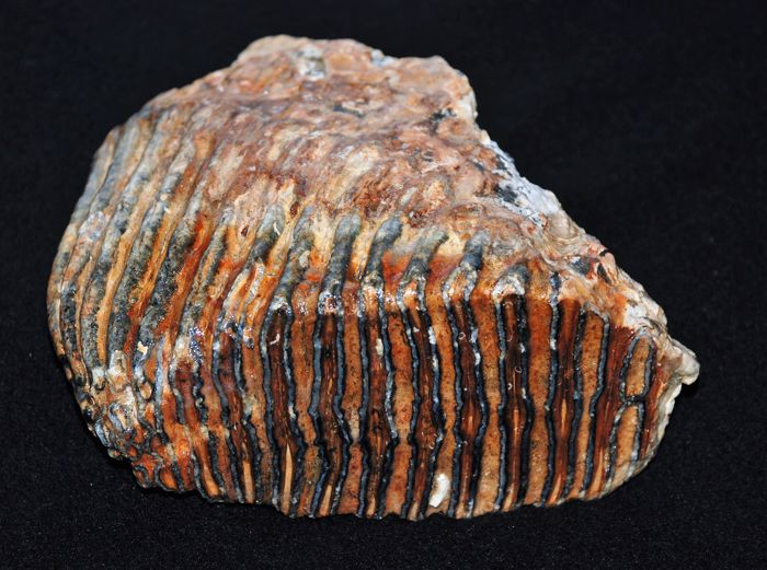 Woolly Mammoth Molar - Mammuthus primigenius - 20 cm