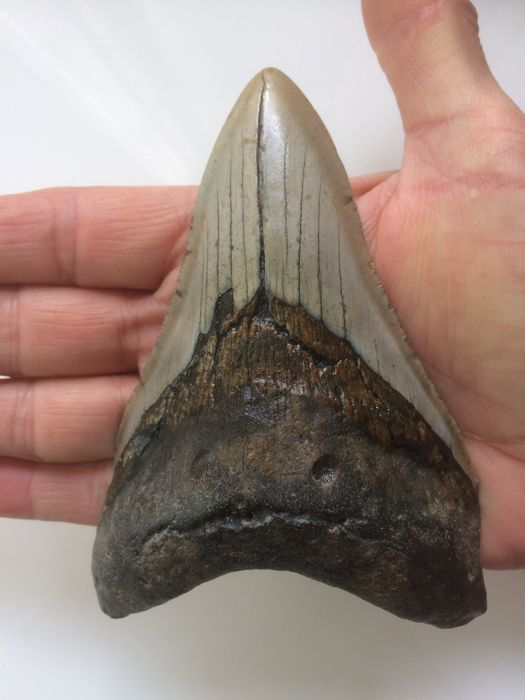 Fossil Shark Tooth - Carcharocles megalodon - 11.9 cm (4.69 inch)