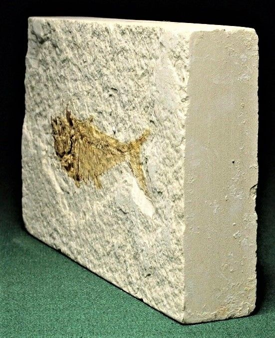 Matrix plate with Fossil Fish - Knightia eocaena - 13 x 78 mm - 405 g
