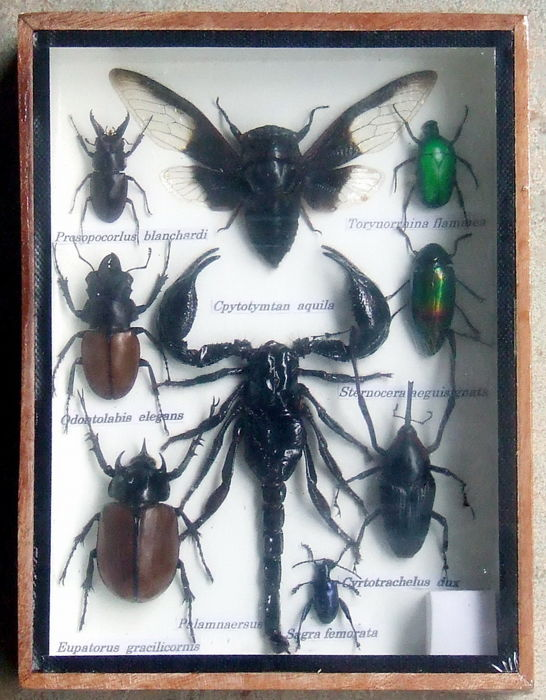Exotic Insect collection in display case - various, all named species - 20 x 15 cm - 1
