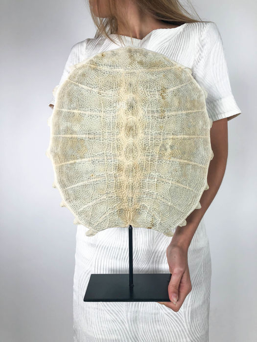 Soft-shell Turtle carapace skeleton Other - Pelodiscus sinensis - 45 x 32cm