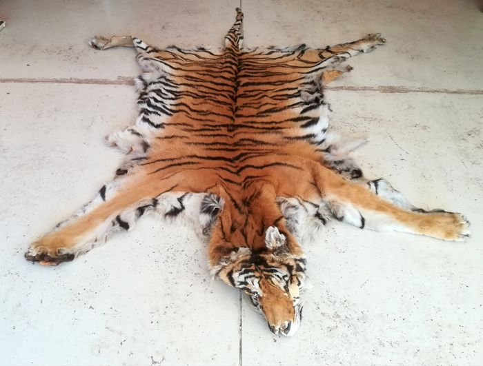 Vintage Bengal Tiger skin with Head, and some Claws - Panthera tigris - 180 x 210 cm - Article 10 Ref: IT/CE/2018/PE/00154