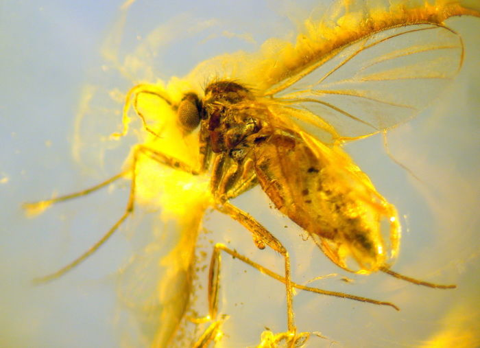 Fine detail - fossil insect in Baltic Amber - 2.0 x 1.35 x 0.45 cm