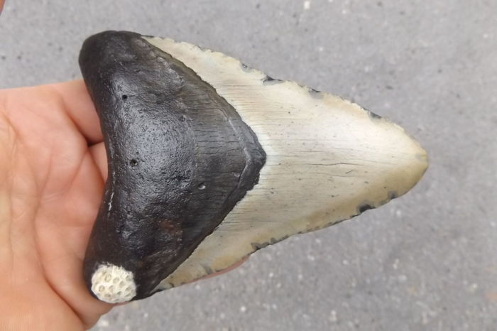 Large Fossil Shark Tooth - Carcharocles megalodon - 12.8 cm