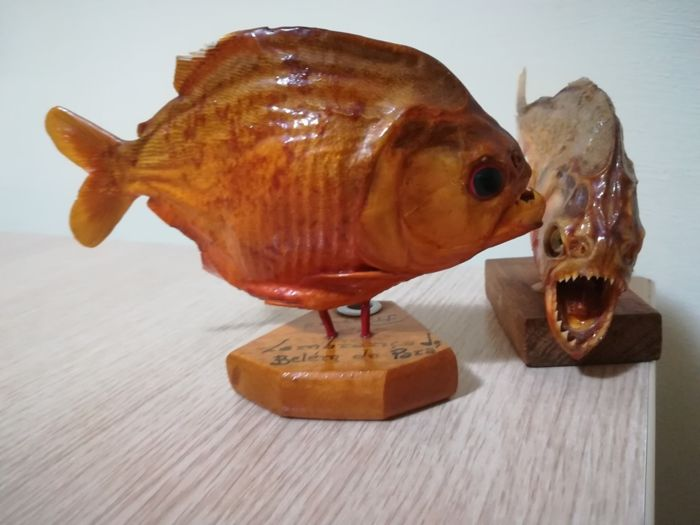 Red-bellied Piranhas on custom stands - Pygocentrus nattereri - 14 and 15cm - . - 2