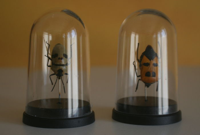 "Pair of ""Death's Head Beetles"" under glass dome - Eucorysses grandis   - 7cm - 2"