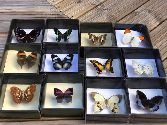 Large Amateur Lepidopterist Collection - finely presented - various species and sizes