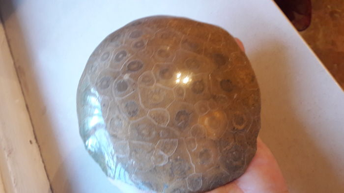 Large polished disc of fossil Coral - 14 cm - 1007 g
