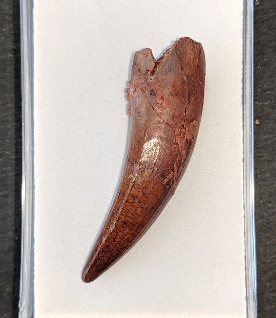 Nice Spinosaurus Tooth in display box - 6 cm - 13gm