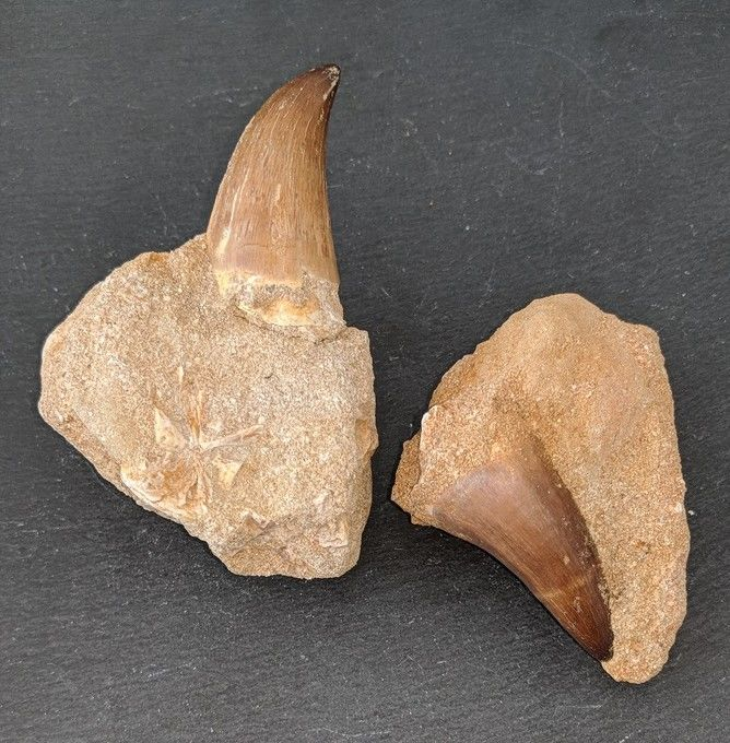 Mosasaurus Teeth on matrix - 96 and 76 mm - 240gm  (2)