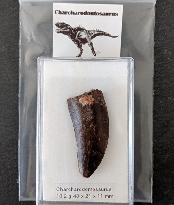 Large Carcharodontosaurus Tooth in display box - 5cm - 10gm