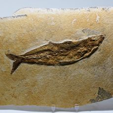 Beautiful fossil fish Tharsis dubius - Plate 32 x 19 cm - Well centred - 800 g