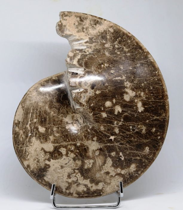 Beautiful fossil ammonite of Turonian - Choffaticeras segne (Solger 1903) - 22 cm - 1.7 kg - Polished - Very decorative - Two prepared sides - Calcite -.