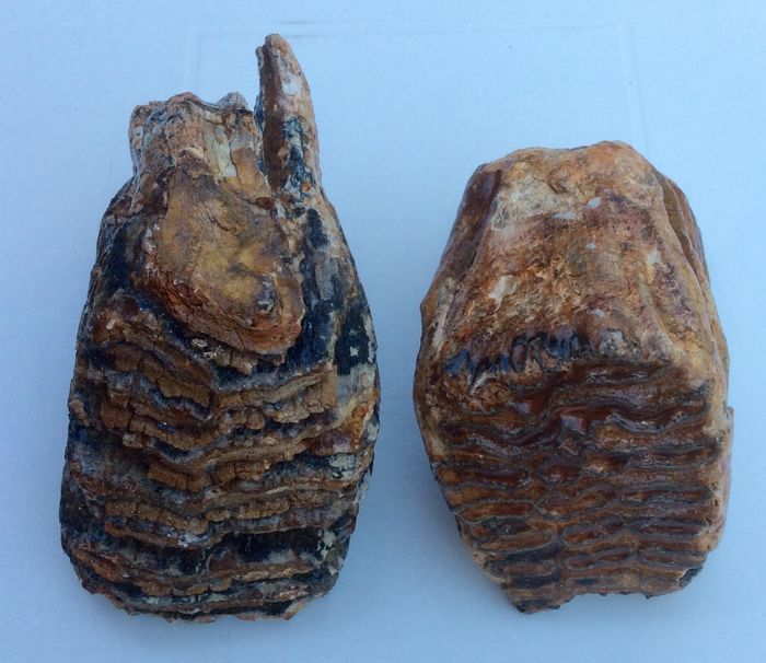 Woolly Mammoth molars - Molar 3 -  Mammuthus primigenius - 170 and 190 mm (2)