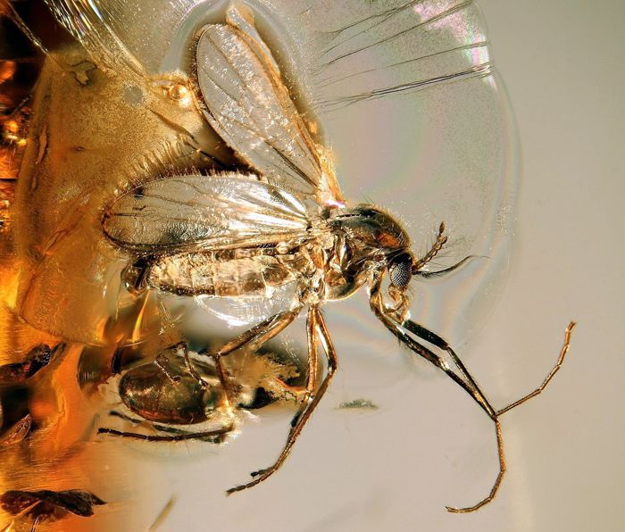 Baltic amber piece with RHAGIONIDAE snipe fly with phoretic mite on leg inclusion - 21 x 17 x 6 mm - 1.2 gr ( rare scene)