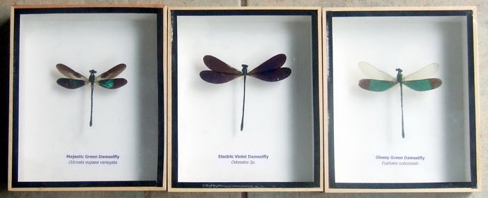 Fine Damselfly display frames all named - Odonates sp. - 15 x 12,5cm - 3