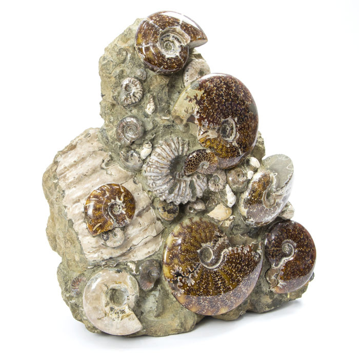 Group of ammonites on original matrix, fossils of ammonite, collectable fossils, 31 x 14 x 37 cm