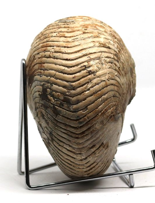Exceptional Nautilus fossil - Cymatoceras sakalavus - 14.5 cm - 1.4 kg - With shell - Unpolished