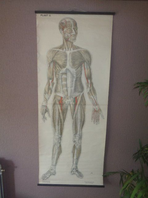 "Old school poster Anatomy ""Muscles"""