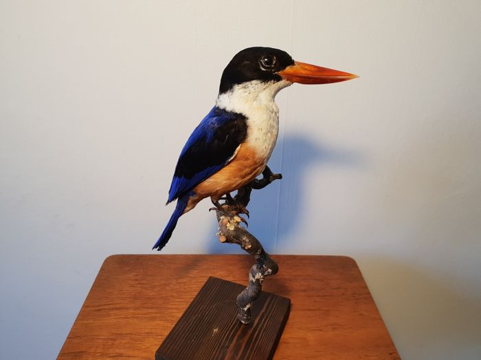 Black-capped Kingfisher Full-body mount - Halcyon pileata - 30cm