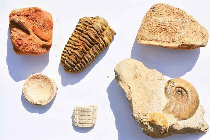 Lot of various fossils - Ray, Shark, Spinosaur, Ammonite, Coral and Trilobite - 3 to 10cm