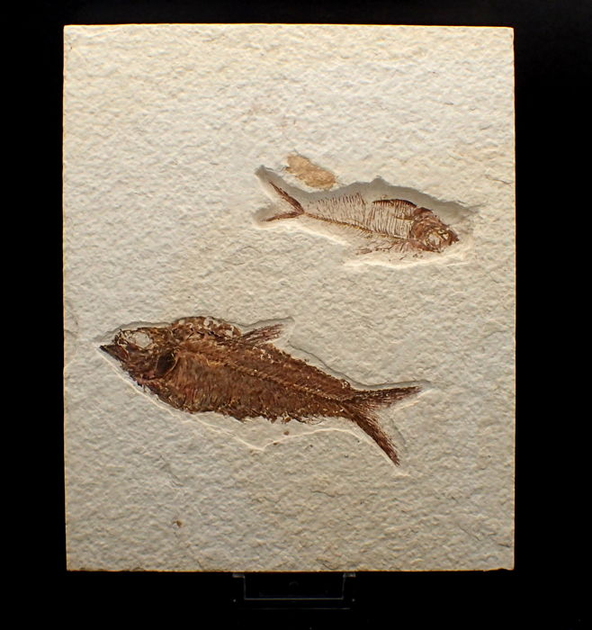 Fossil Fishes on matrix plate - Knigthia alta and Diplomystus dentatus - 17.8 x 14.7cm