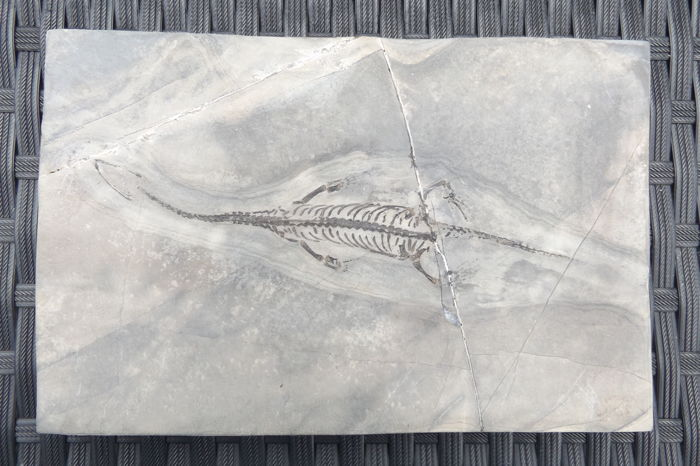Fossilised  Swimming Reptile on matrix - Keichousaurus hui - 16.2 cm