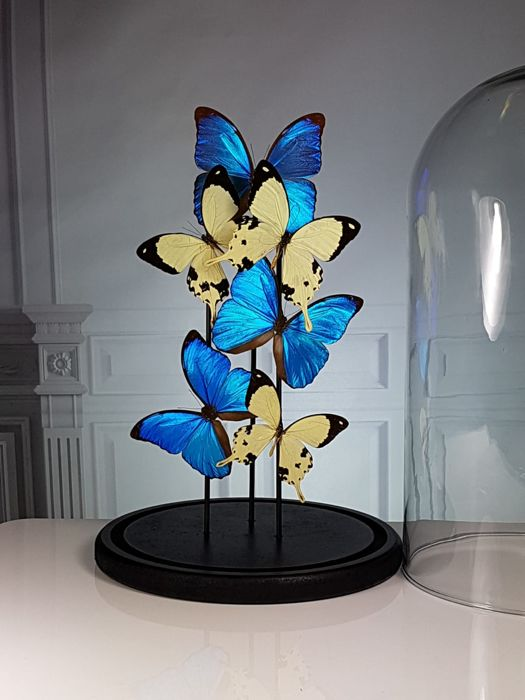 Mixed Butterfly Display under large glass dome - Morpho menelaus and Papilio dardanus - 40×23×23 cm