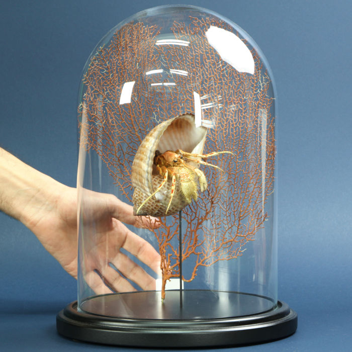 Hermit Crab with Red Gorgon under glass dome - Paguroidea sp. - 360×260×260 mm