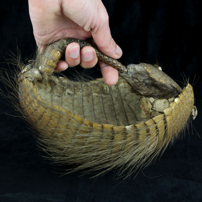 Taxidermy - Large Hairy Armadillo Dry-preserved - Chaetophractus villosus - 220×210×150 mm