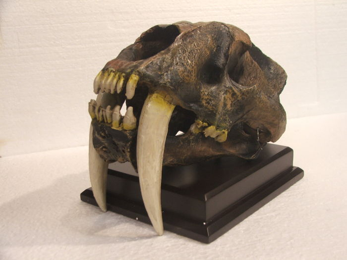 Used, Fine replica Sabre-toothed Cat - Skull - Smilodon - 34×21×20 cm Fossils Fossils & Natural for sale