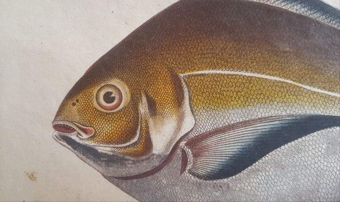 John Pass or Paas (c.1783–1832)  - The Gilt Stromate handcolored in fine detail