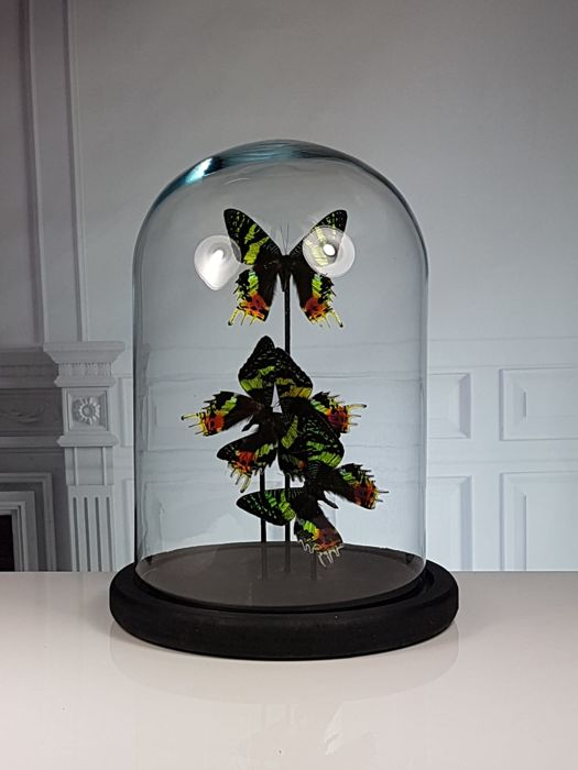 Madagascan Sunset Moths mounted under glass dome - Urania ripheus - 31×23×23 cm