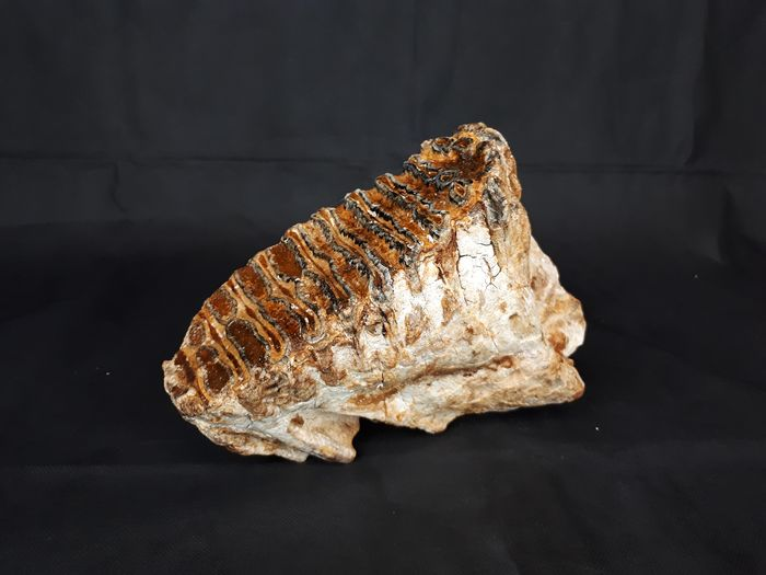Woolly Mammoth - Tooth - Mammuthus primigenius - 15×8×18 cm