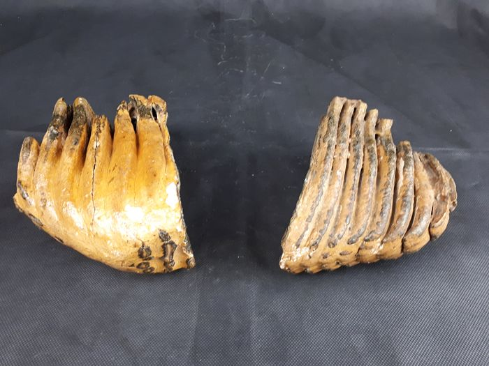 Woolly Mammoth - Tooth - Mammuthus primigenius