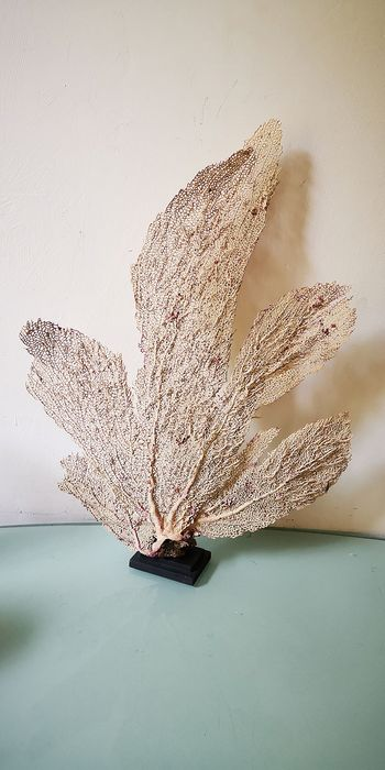 Purple Sea Fan Coral on custom stand - Gorgonia ventalina - 40×0×52 cm