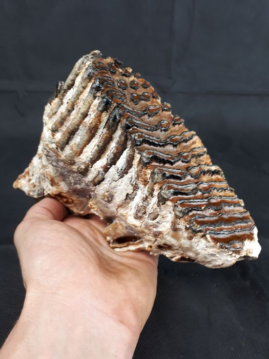 Woolly Mammoth - Tooth - Mammuthus primigenius  - 16×6×17 cm