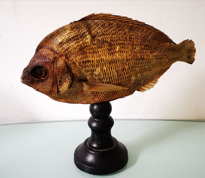 Unusual vintage Fish taxidermy on custom stand - ex-School Collection - u/k - 24×0×30 cm